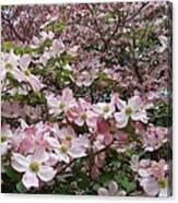 Flourishing Pink Magnolias Canvas Print