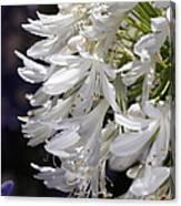 Flower-agapanthus-white-flora Canvas Print