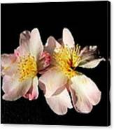 Flower Azalea. Canvas Print