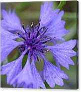 Flower Blues Canvas Print