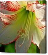 Flower Child Amaryllis Flower Art Canvas Print