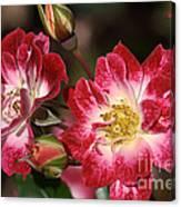 Flower-cream-pink-red-rose Canvas Print