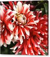 Flower-dahlia-red-white-trio Canvas Print