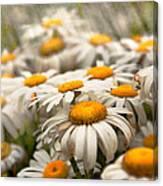 Flower - Daisy - Not Quite Fresh As A Daisy Canvas Print