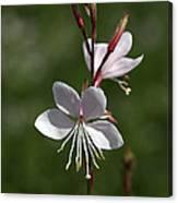 Flower-gaura-white  Canvas Print