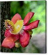 Flower Of Cannonball Tree Singapore Canvas Print
