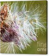 Flower Of The Canada Thistle Canvas Print