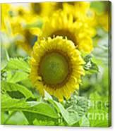 Flower - Texas Sunflower Field 1 - Luther Fine Art Canvas Print