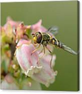Flowerfly On Blueberry Blossom Canvas Print