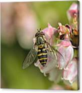 Flowerfly Pollinating Blueberry Buds Canvas Print