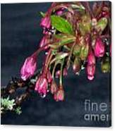 Flowering Cherry Trees Buds Canvas Print