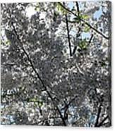Flowering Cherry - White Canvas Print