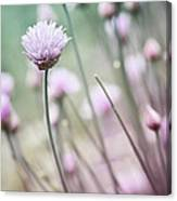 Flowering Chives I Canvas Print