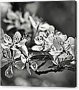 Flowering Crabapple 2 Bw Canvas Print
