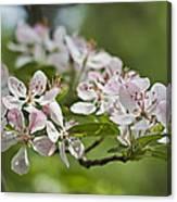 Flowering Crabapple 2 Canvas Print