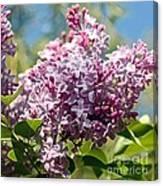Flowering Lliac Bush Canvas Print