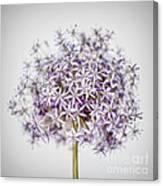 Flowering Onion Flower Canvas Print
