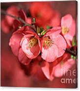 Flowering Quince Canvas Print