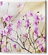 Flowering Rhododendron Canvas Print
