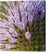Flowering Teasel Canvas Print