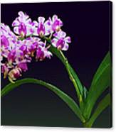Flowers - Aerides Lawrenciae X Odorata Orchid Canvas Print