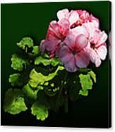 Flowers - Pale Pink Geranium Canvas Print