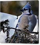 Fluffy Blue Jay Canvas Print