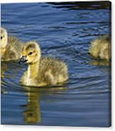 Fluffy Floaters  Canvas Print