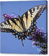 Fluted Swallowtail Canvas Print