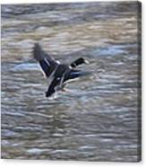 Fly Away Duck Canvas Print