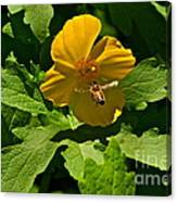 Flying Bee And Wood Poppy Canvas Print