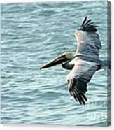 Flying Brown Pelican  Canvas Print