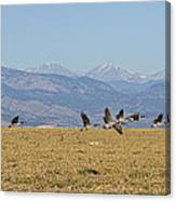 Flying Canadian Geese Colorado Rocky Mountains 1 Canvas Print