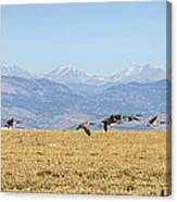 Flying Canadian Geese Rocky Mountains 2 Canvas Print