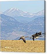 Flying Canadian Geese Rocky Mountains Panorama 2 Canvas Print
