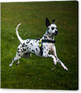 Flying Crazy Dog. Kokkie. Dalmation Dog Canvas Print