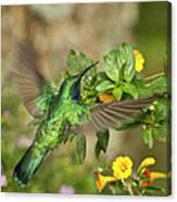 Flying Green Violetear Canvas Print