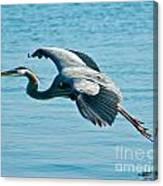 Flying Heron Canvas Print