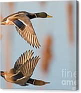 Skimming The Pond Through Cattails Canvas Print