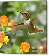 Flying Scintillant Hummingbird Canvas Print