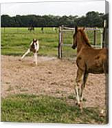 Foals At Play Canvas Print