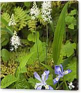 Foamflower And Crested Dwarf Iris - D008428 Canvas Print