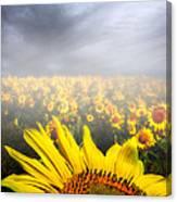 Foggy Field Of Sunflowers Canvas Print