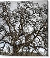 Folsom Old Oak  Canvas Print