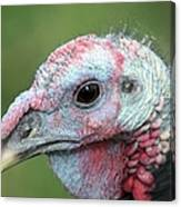 Fontana Turkey Portrait Canvas Print
