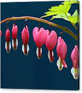 Bleeding Hearts For Your Love Canvas Print