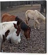 Foraging Horses Canvas Print