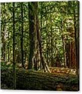 Forest Of Cathedral Grove Collection 1 Canvas Print