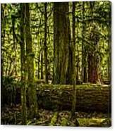 Forest Of Cathedral Grove Collection 3 Canvas Print