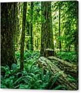 Forest Of Cathedral Grove Collection 8 Canvas Print